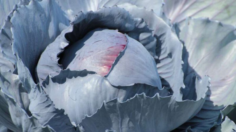 Rotkohl – Winterklassiker mit Power