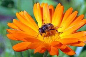 Ringelblume mit Insekt