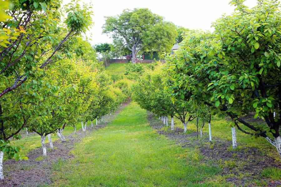 Kalkanstrich für Obstbäume